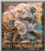 Auto Sour Diesel Female Mix & Match Seeds